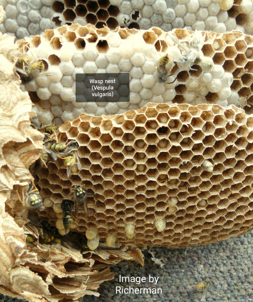 Structure of a Common wasp nest (Vespula vulgaris) by Richerman [CC BY-SA 3.0 (https://creativecommons.org/licenses/by-sa/3.0) or GFDL (http://www.gnu.org/copyleft/fdl.html)], from Wikimedia Commons.