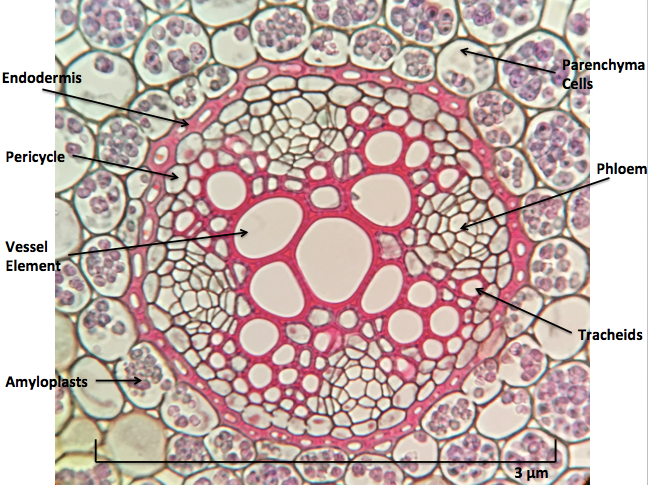 Cross section of Ranunculus root, a eudicot. Image by Sadierath (own work, 2016). This image is licensed under the Creative Commons Attribution-Share Alike 4.0 International license. https://commons.m.wikimedia.org/wiki/File:Ranunculus_Root_Cross_Section.png