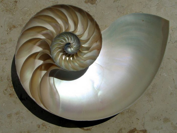 Nautilus shell cut in half. The chambers are clearly visible and arranged in a logarithmic spiral. Image Chris 7, licenced under a Creative Commons licence [CC BY-SA 3.0] http://creativecommons.org/licenses/by-sa/3.0, via Wikimedia Commons. https://commons.wikimedia.org/wiki/File:NautilusCutawayLogarithmicSpiral.jpg#file