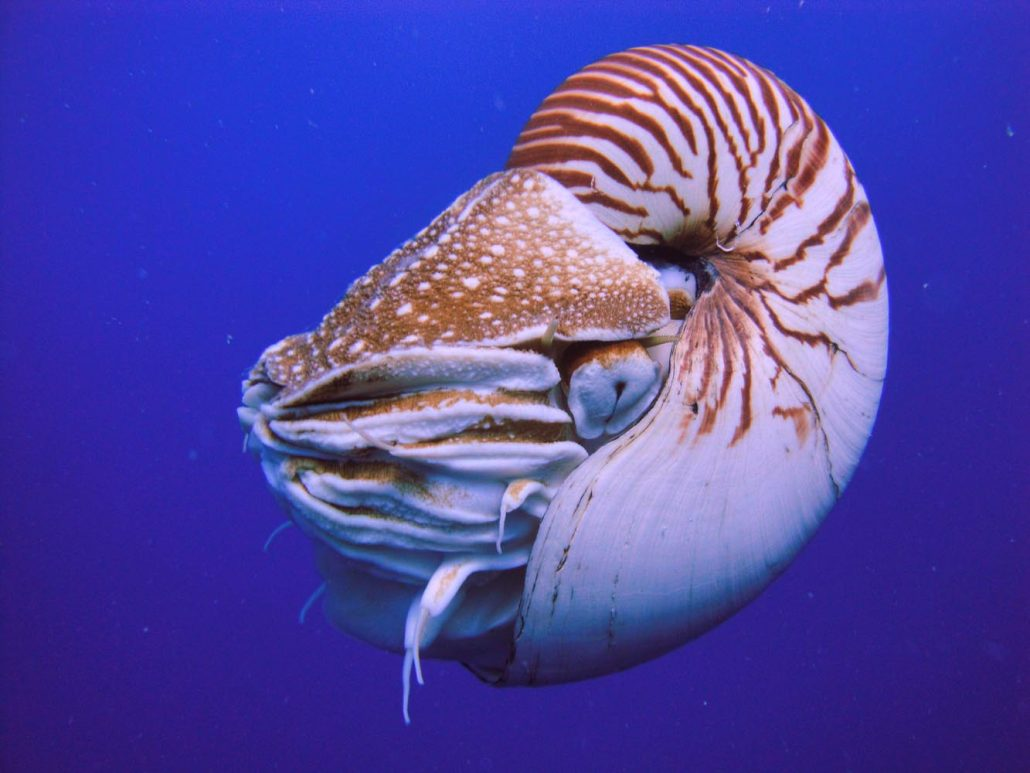 Nautilus, Palau. Image by Manuae (Own work) licenced under a Creative Commons licence [CC BY-SA 3.0] http://creativecommons.org/licenses/by-sa/3.0, via Wikimedia Commons. https://commons.wikimedia.org/wiki/File%3ANautilus_Palau.JPG