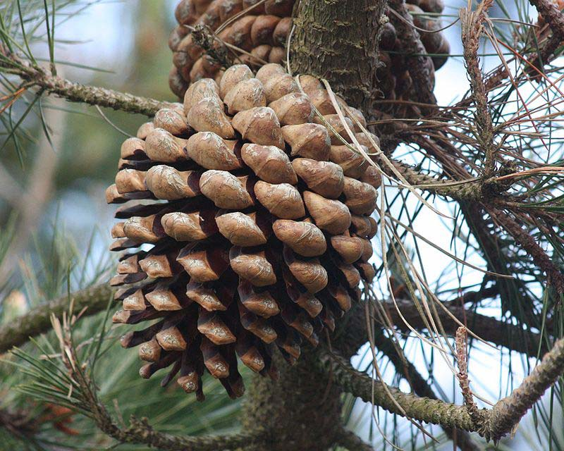 Pine cone [Pinus radiata ] image by minicooper93402 on Flickr, licenced under a Creative Commons licence [CC BY 2.0] http://creativecommons.org/licenses/by/2.0, via Wikimedia Commons. https://commons.wikimedia.org/wiki/File%3APinus_radiata_cone.jpg