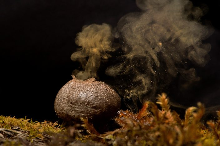 Puffball fungi, releasing spores. Image by Kalyanvarma (Own work), licenced under a Creative Commons licence [CC BY-SA 3.0] (http://creativecommons.org/licenses/by-sa/3.0, via Wikimedia Commons. https://commons.wikimedia.org/wiki/File%3APuffball_fungai.jpg