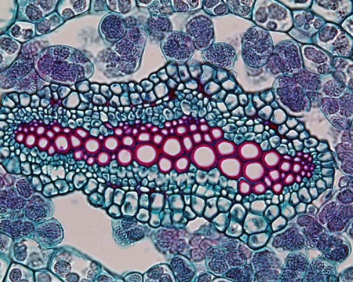 View of a vascular bundle from Selaginella, image by Dr. Paul J Schulte (University of Nevada). https://faculty.unlv.edu/schulte/Anatomy/Stems/Stems.html
