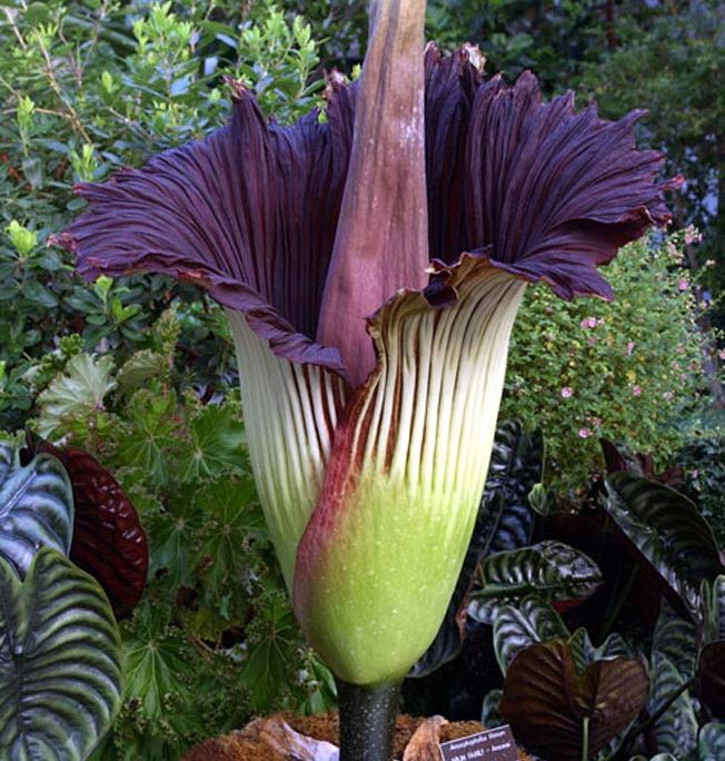 Image by US Botanic Garden (2003). [Public domain], via Wikimedia Commons. https://commons.wikimedia.org/wiki/File%3ATitan-arum1web.jpg