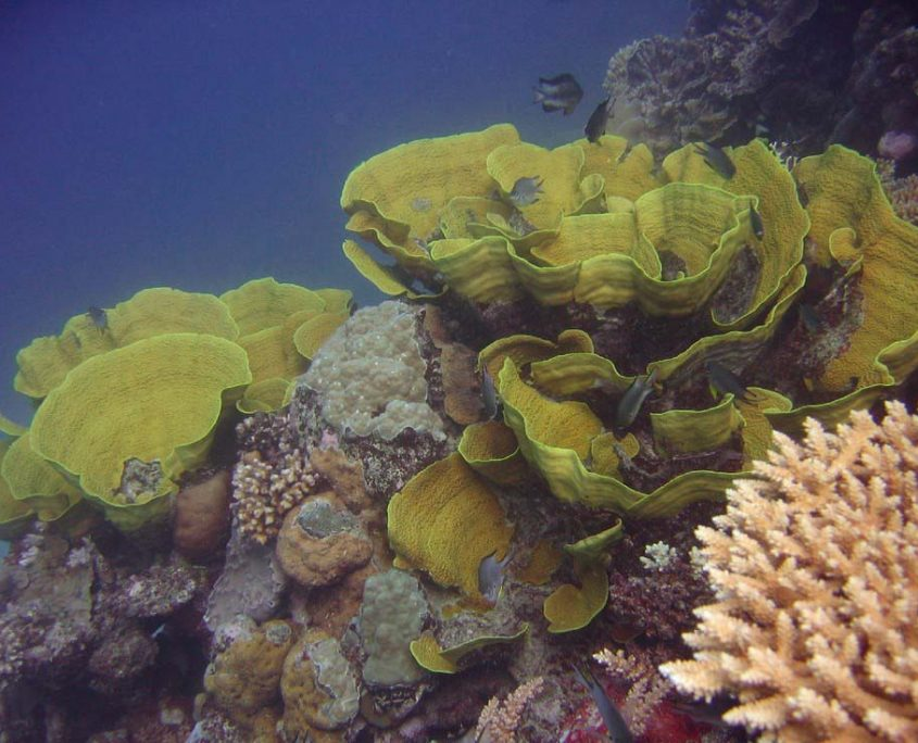 Inspiration from bracket/plate coral Turbinaria mesenterina. Tracey's Wonderland, Ribbon Reefs, Great Barrier Reef. Image by Richard Ling (Flickr) licenced under a Creative Commons licence [CC BY-SA 2.0] (http://creativecommons.org/licenses/by-sa/2.0), via Wikimedia Commons. https://commons.wikimedia.org/wiki/File:Turbinaria_mesenterina.jpg