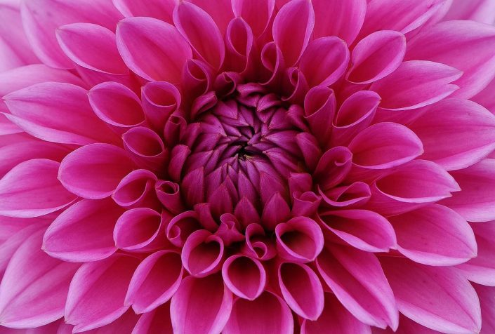 Dahlia flower, image from Pixabay.