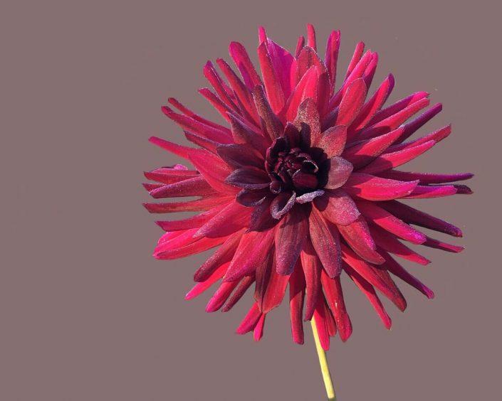 Cactus Dahlia flower, image from Pixabay.