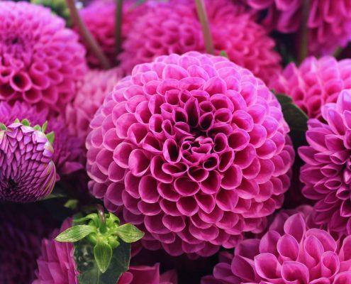 dahlia-flower-2-inspire-pexels