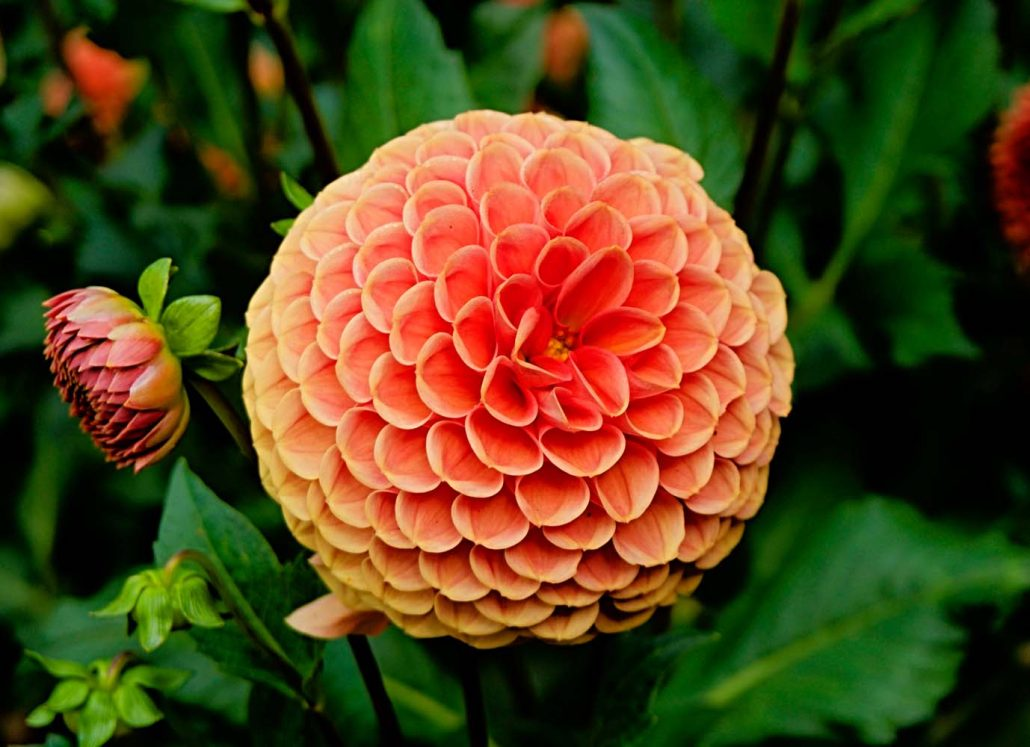 dahlia-flower-inspire-pexels