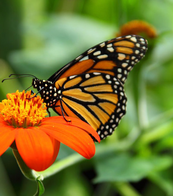 monarch-butterfly-inspire-pexels