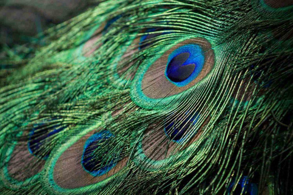peacock-inspire-pexels