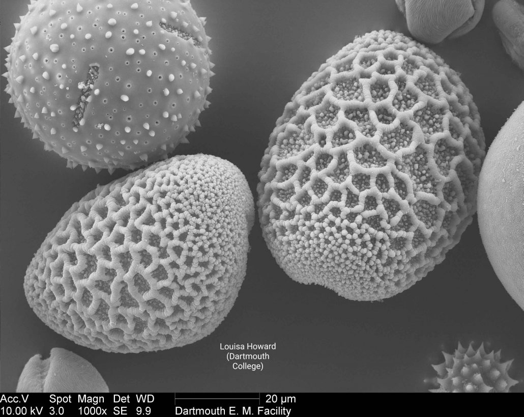 Scanning electron microscope image of lily pollen mix (Louisa Howard). This image is in the public domain. Dartmouth College. http://remf.dartmouth.edu/pollen2/pollen_images_4/images/26%206a_2_DLily-5.jpg