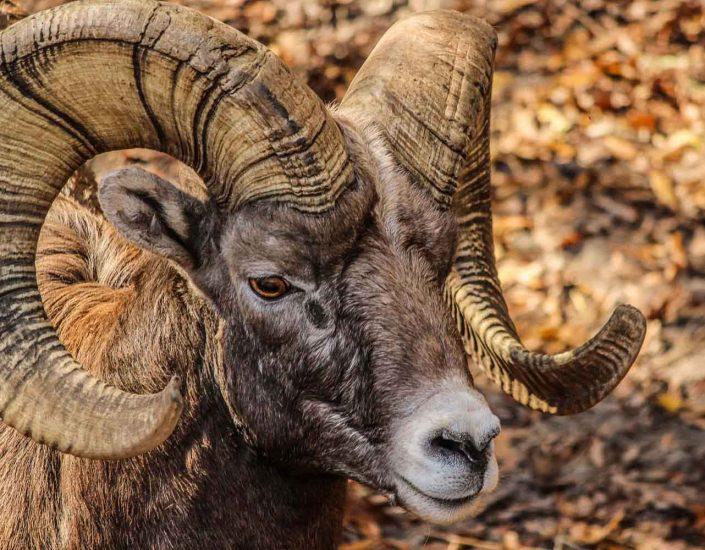 ram-horns-spiral-inspire-pexels